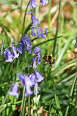 Bee and bluebells — Stock Photo