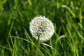 Dandelion Clock — Stock Photo
