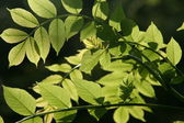 Leaves in Sunlight — Stock Photo