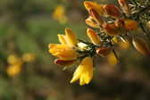 Gorse Flowers — Stock Photo