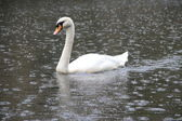 Swan in rain — Stock Photo