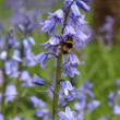 Bluebells and Bee — Stock Photo #14837565