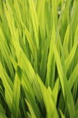 Green reeds — Stock Photo
