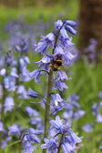 Bluebells and Bee — Stock Photo