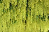 Laburnum Walk — Stock Photo
