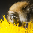 Stock Photo: Bumble bee