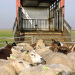 Transport voor sheep — Stockfoto