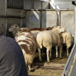Transport voor sheep — Stock Photo