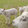 Herd of sheep and lambs — Stockfoto