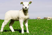 Springtime sheep and lamb — Stock Photo
