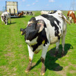 Cow jump and run in meadow — Stock Photo