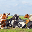 Cows outdoors in meadow — Stock Photo