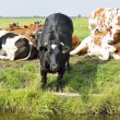 Cows outdoors in meadow — Stock Photo #29311131