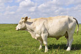 Cow in green meadow — Stock Photo