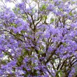 Violet tree Jacaranda, growing in the province of Mpumalanga, South Africa - Stock Photo