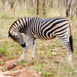 Zebra  in the Kruger National  Park, South Africa. - Stock Photo