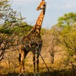Graceful giraffe eating branch of the tree in national Kruger Park in South Africa - Foto Stock