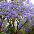 Stock Photo: Violet tree Jacaranda, growing in province of Mpumalanga, South Africa