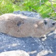 Dangerous animal rodent that lives on the table mountain in Cape Town, South Africa - Stock Photo