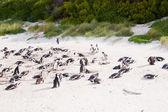 Familie afrikaanse pinguïns in kaapstad — Stockfoto