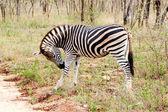 Cebra en el parque nacional kruger, sudáfrica. — Foto de Stock