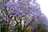 Violet tree Jacaranda, growing in the province of Mpumalanga, South Africa — Foto Stock