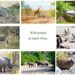 African wild animals collage, fauna diversity in Kruger Park, South Africa — ストック写真
