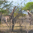 Two Wild Reticulated Giraffe and African landscape in national Kruger Park in UAR,natural themed collection background, beautiful nature of South Africa, wildlife adventure and travel — Stock Photo #25447817