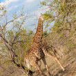 Wild Reticulated Giraffe and African landscape in national Kruger Park in UAR,natural themed collection background, beautiful nature of South Africa, wildlife adventure and travel — Stock Photo #25447899