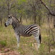 Royalty-Free Stock Photo: Wild striped zebra  in national Kruger Park in South Africa,natural themed collection background, beautiful nature of South Africa, wildlife adventure and travel