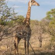 Wild Reticulated Giraffe  and African landscape in national Kruger Park in UAR,natural themed collection background, beautiful nature of South Africa, wildlife adventure and travel — Stock Photo