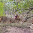 Wild Pride of lions in national Kruger Park in UAR,natural themed collection background, beautiful nature of South Africa, wildlife adventure and travel — Stock Photo