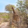 Wild Reticulated Giraffe  and African landscape in national Kruger Park in UAR,natural themed collection background, beautiful nature of South Africa, wildlife adventure and travel - Stock Photo
