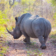 Wild rhino  and African landscape in national Kruger Park in UAR — Stock Photo