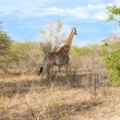 Wild Reticulated Giraffe  and African landscape in national Kruger Park in UAR,natural themed collection background, beautiful nature of South Africa, wildlife adventure and travel - Stockfoto