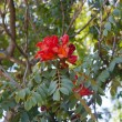 Red flower on tree in park. Cape Town, South Africa - Stok fotoğraf