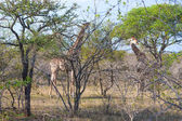 Two Wild Reticulated Giraffe and African landscape in national Kruger Park in UAR,natural themed collection background, beautiful nature of South Africa, wildlife adventure and travel — Stock Photo