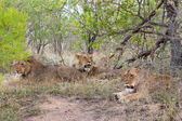 Wild Pride of lions in national Kruger Park in UAR,natural themed collection background, beautiful nature of South Africa, wildlife adventure and travel — Foto Stock