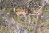 Wild herd of antelope in national Kruger Park in UAR,natural themed collection background, beautiful nature of South Africa, wildlife adventure and travel — Stock Photo