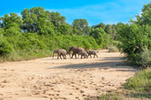 Wild herd of elephants come to drink in Africa in national Kruger Park in UAR,natural themed collection background, beautiful nature of South Africa, wildlife adventure and travel — Stock Photo
