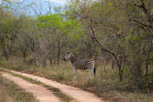 Wild striped zebra in national Kruger Park in South Africa,natural themed collection background, beautiful nature of South Africa, wildlife adventure and travel — Stock Photo