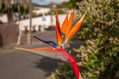 "Bird of paradise flower. A rare form of the bird of paradise that can be found in south africa and is named ""Mandela's Gold"" in honour of nelson mandela. — Foto de Stock"