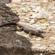 Lizard on rock  in Africa, Cape Town - 图库照片