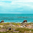Ostrich (Struthio camelus) by the coast at the Cape of Good Hope, South Africa. — Stock Photo
