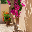 Stock Photo: Branches of flowers pink bougainvillebush in street, Crete, Greece