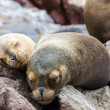 South American Sea lions relaxing on the rocks of the Ballestas Islands in the Paracas National park. Peru. Flora and fauna — Stock Photo #31037657