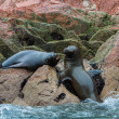 South American Sea lions relaxing on the rocks of the Ballestas Islands in the Paracas National park. Peru. Flora and fauna — Stock Photo