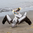 Pelicans on Ballestas Islands in Paracas National park. Peru. South America. Flora and fauna — Stock Photo