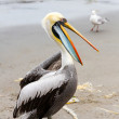 South American Pelican on Ballestas Islands in Paracas National park. Peru. Flora and fauna — Stock Photo