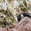 Vulture red neck birds in Ballestas Islands.Peru.South America. National park Paracas.  Flora and fauna — Stock Photo